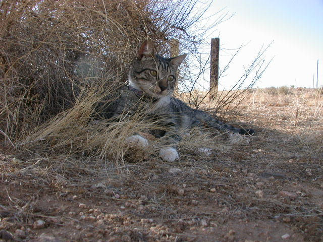 Cat in High Plains Dry Grass by rosswright