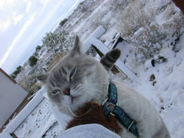 Snow Bengal Cat in Snow 2