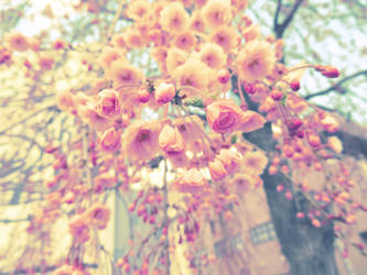 Soft Cherry Blossoms (Japan) by anjicle
