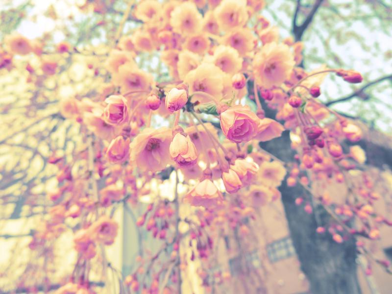Soft Cherry Blossoms (Japan)