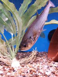 Vampire Tetra Fish Payara + Transparent PNG