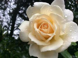 Floribunda Rose: French Lace by kiwipics