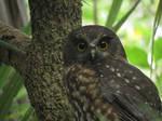 Morepork Owl 1