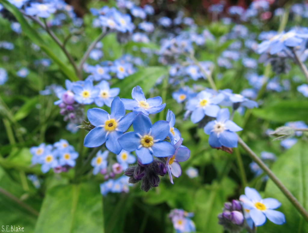 forget-me-nots by Lionessrules
