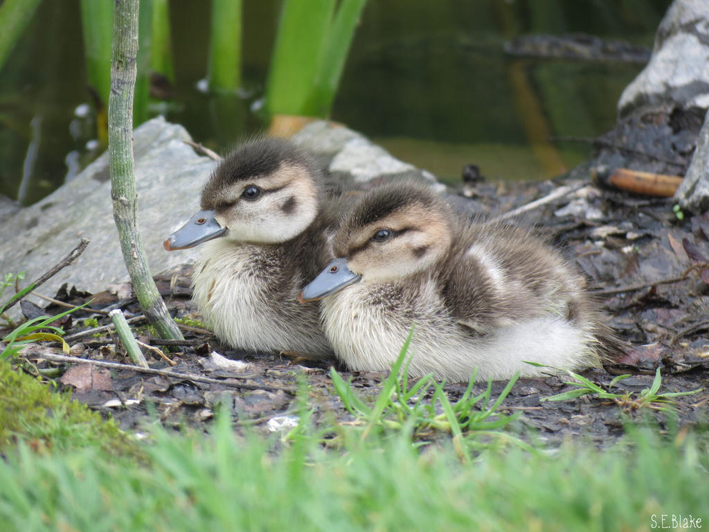 grey teal ducklings by Lionessrules