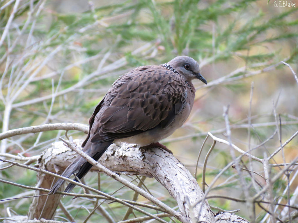 spotted dove by Lionessrules