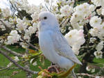 Budgie with blossoms