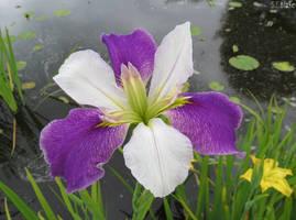 Louisiana Iris by kiwipics