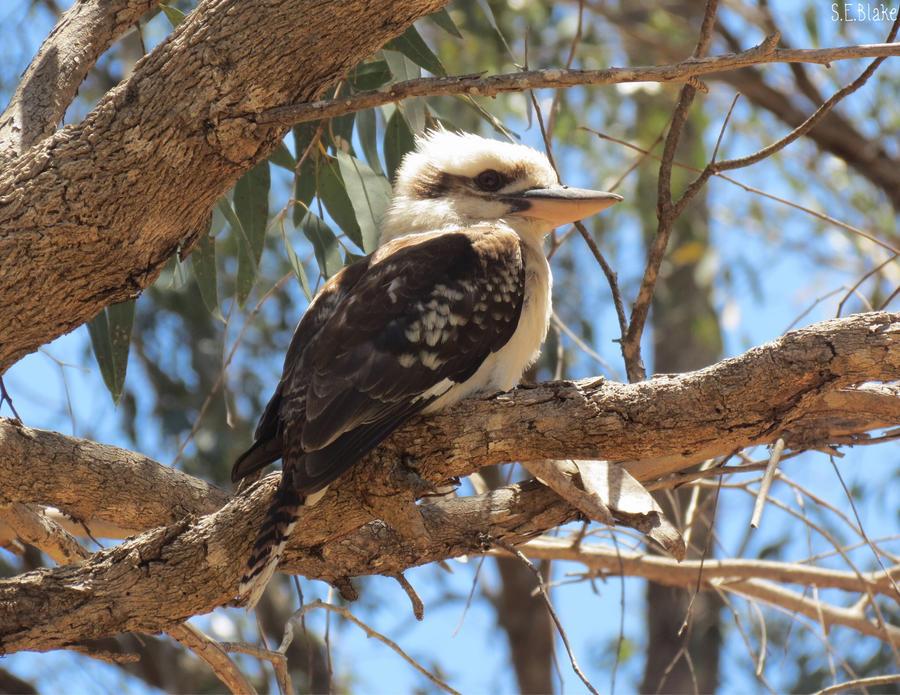 Kookaburra by kiwipics