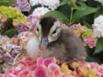 Carolina Wood Duckling