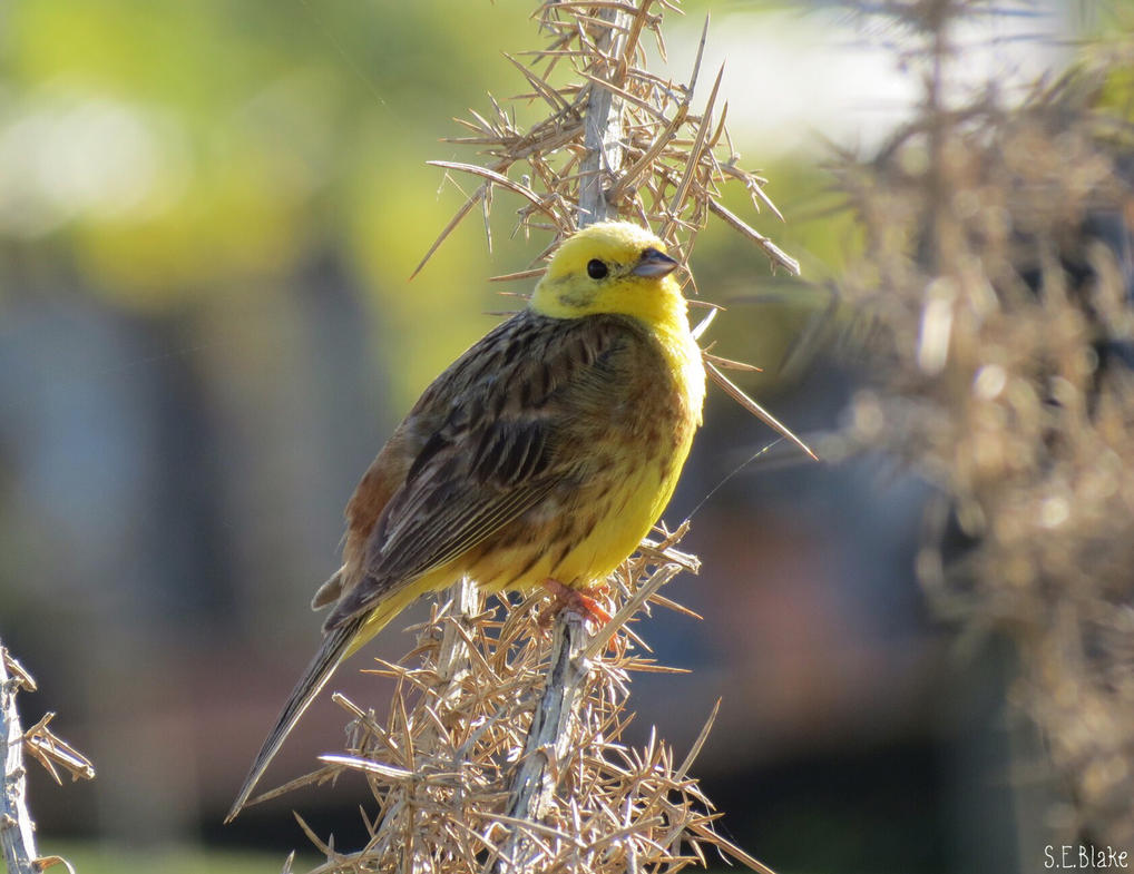Yellowhammer by kiwipics