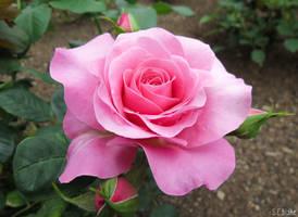 Rose by kiwipics