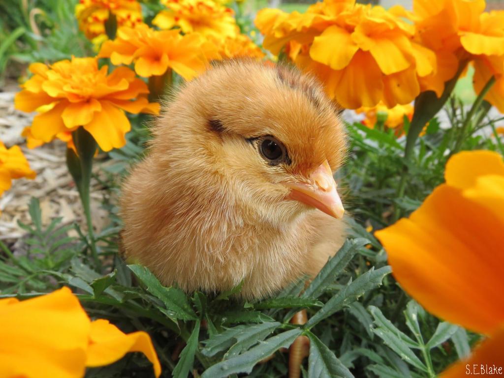 Chick by kiwipics