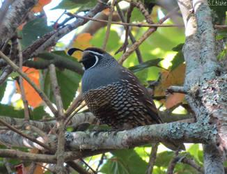 California quail by kiwipics