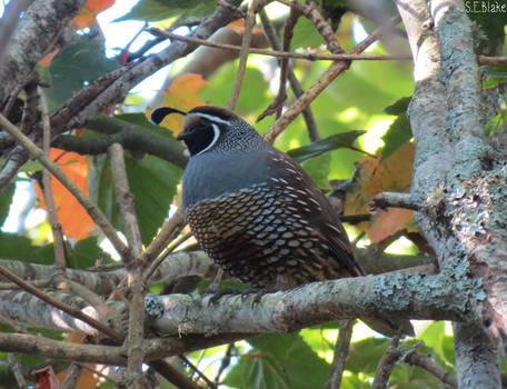 California quail