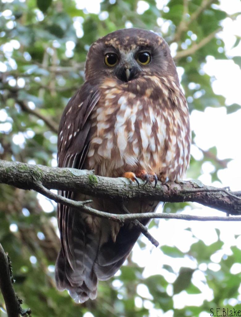 morepork owl by kiwipics