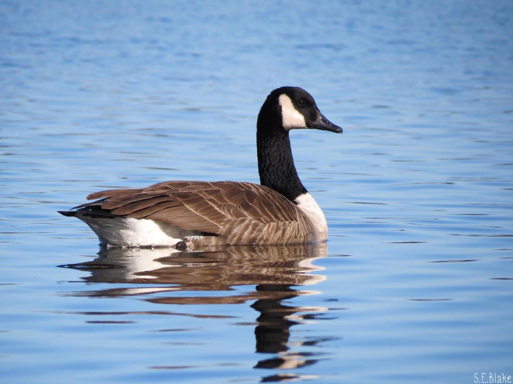 Canada Goose by kiwipics