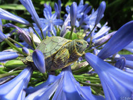 baby turtle 2 by kiwipics