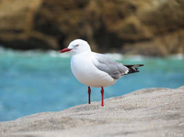 Red-billed gull by kiwipics