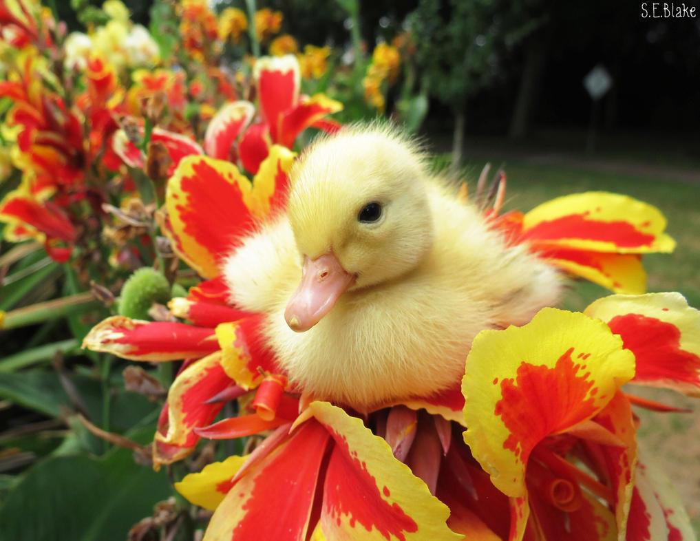 Pekin duckling by kiwipics