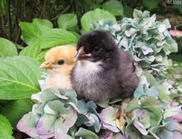 Chicks by kiwipics