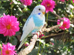 Budgie with dahlias