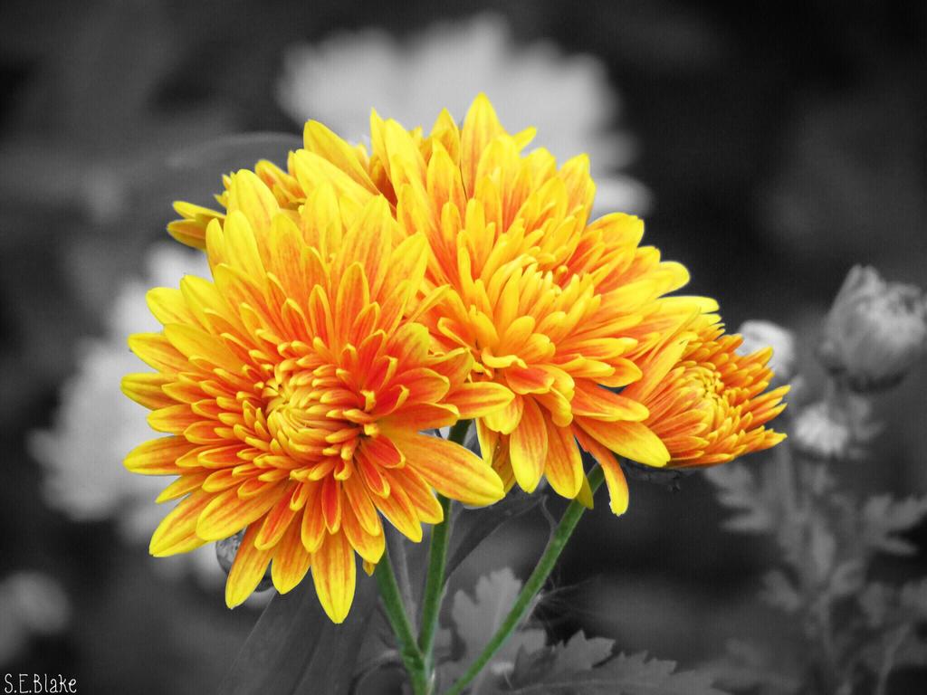 Chrysanthemums by kiwipics