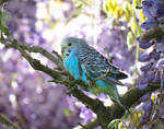 baby blue budgie