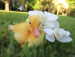 duckling with orchid by kiwipics