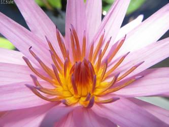 Waterlily by kiwipics