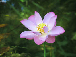 Lotus flower  by kiwipics