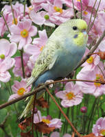 blue and yellow budgie  by kiwipics