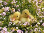 Pekin Ducklings  by kiwipics