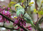 budgie and blossoms by kiwipics