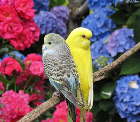 blue and yellow budgies  by kiwipics