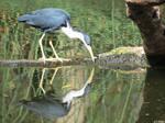Pied Heron by kiwipics