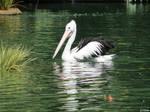 Australian pelican 2  by kiwipics