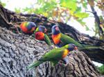 Rainbow Lorikeets 2 by kiwipics