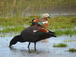 Paradise shelduck pair