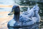 Blue Swedish duck by kiwipics