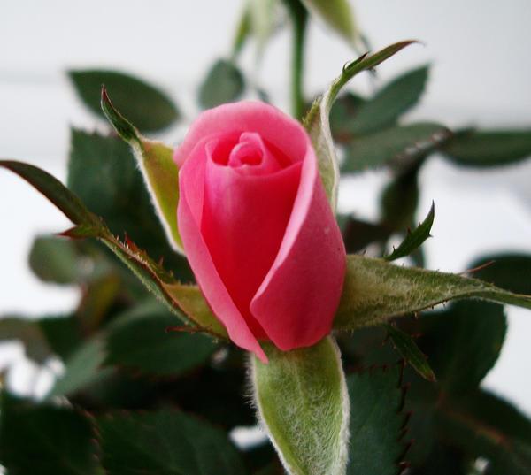 Rosebud by FadingShade