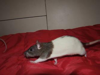 Rat by Radioactive-cherry
