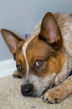 Rory the Cattle Dog 1