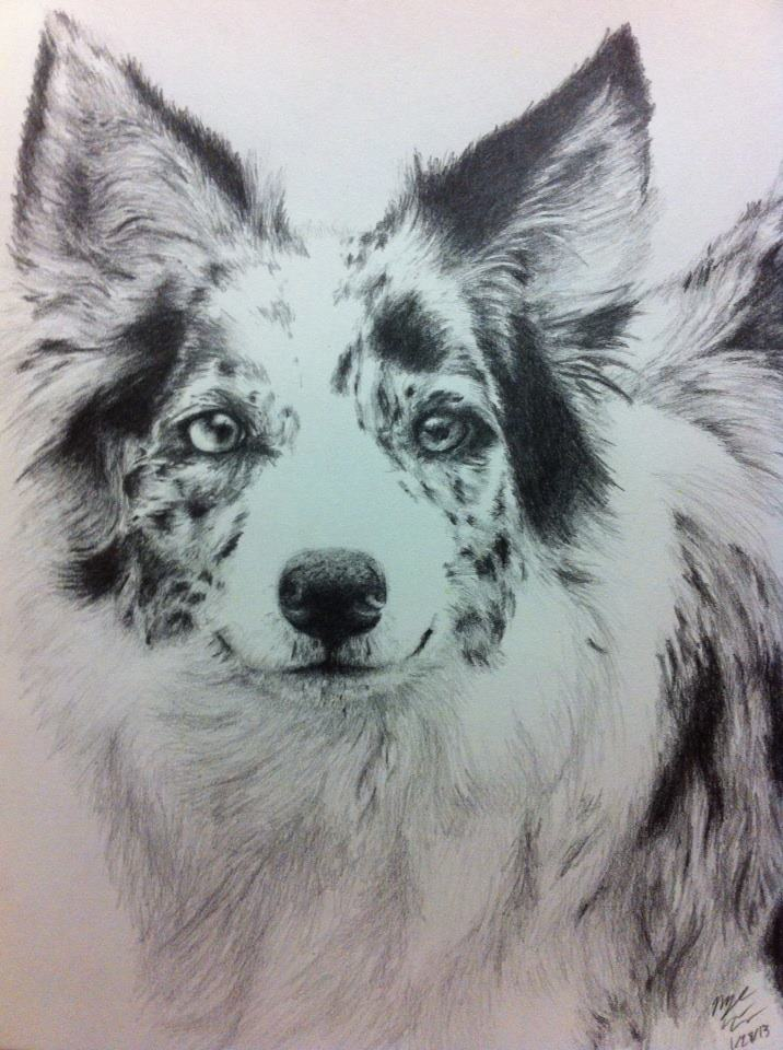 blue merle border collieaustralian shepherd by vaporshine