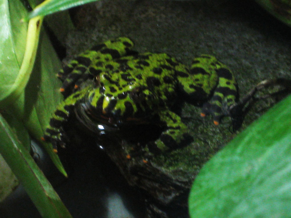 A green-black spotted toad by NatalieTheAntihero