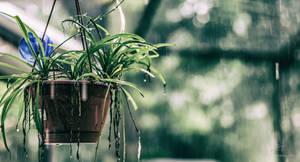 Planter in Rain