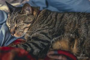 Cat Nap - Buddy Snuggles