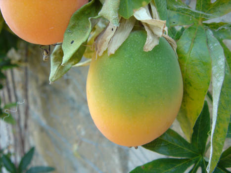 Passion Fruit 2