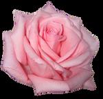 png pink rose