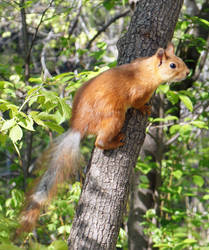 Squirrel by ForestGirlStock